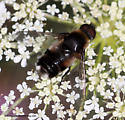 Bee Fly - Villa nigropecta