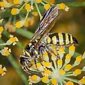 Wasp? - Myzinum maculatum - female