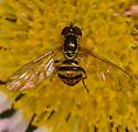 Toxomerus marginatus - Toxomerus geminatus