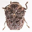 Beetle - Neochlamisus