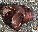 silk moth cocoon - Antheraea polyphemus