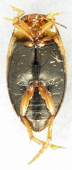 fresh Hygrotus - Coelambus nubilus