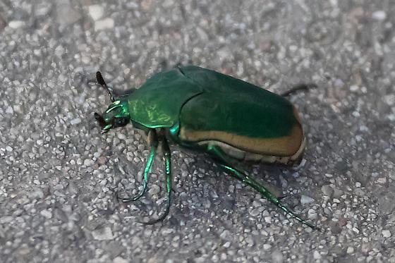 Type of scarab beetle.. - Cotinis mutabilis