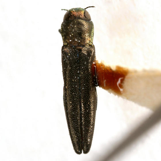 Agrilus gillespiensis Knull - Agrilus gillespiensis