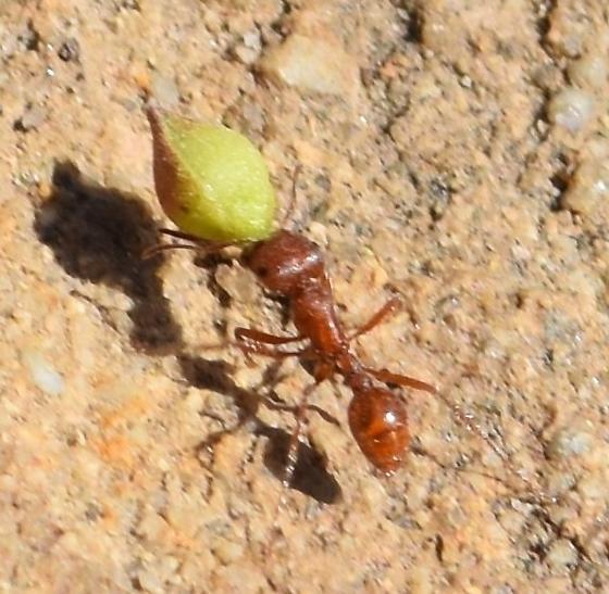Pogonomyrmex sp. - Pogonomyrmex - female