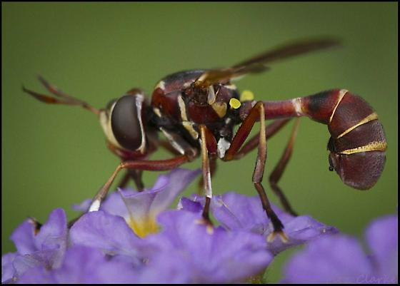 Thick Headed Fly, Conopinae, Physoconops male - Physoconops - male