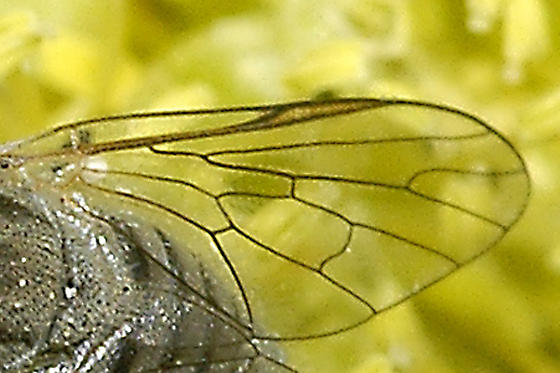 Bombyliidae possibly Apolysis? - Apolysis