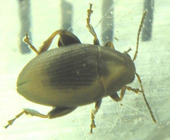 Flea beetle - Chaetocnema concinna