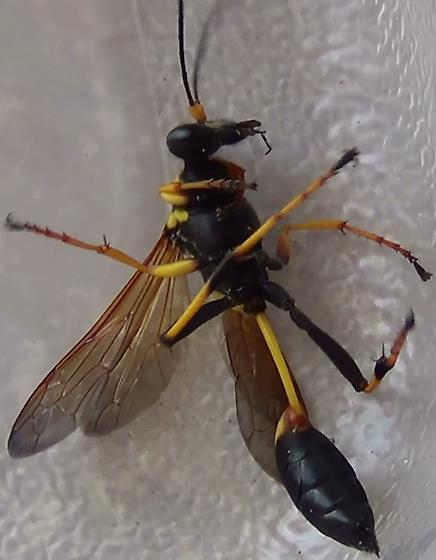 Sexing a Black & Yellow Mud Dauber Wasp - Sceliphron caementarium - female