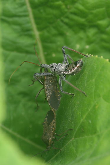Wheel bug nymph preying on mating squash bugs - Arilus cristatus - male - female