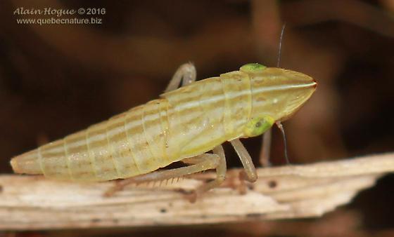 Cicadellinae - Draeculacephala
