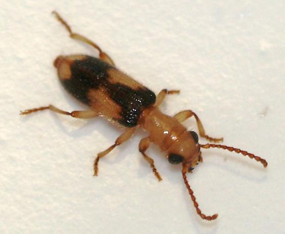 Araeodontia peninsularis
