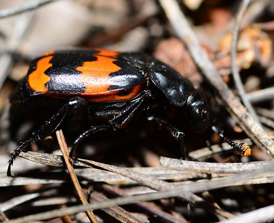 unknown beetle - Nicrophorus
