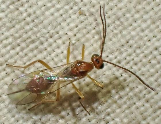 Braconid Wasp (?) - Meteorus
