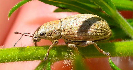 white-fringed snout weevil Naupactus tesselatus? - Naupactus tesselatus