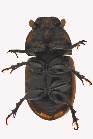 Scarab Beetle - Aphodius fimetarius