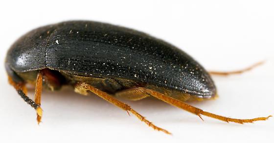 Polypore Fungus Beetle - Eustrophopsis bicolor