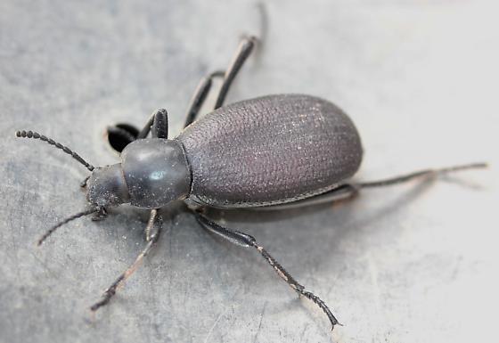 Tenebrionidae - Eleodes sponsa