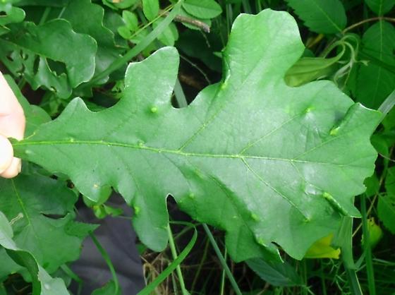 leaf galls on bur oak - Neuroterus quercusverrucarum