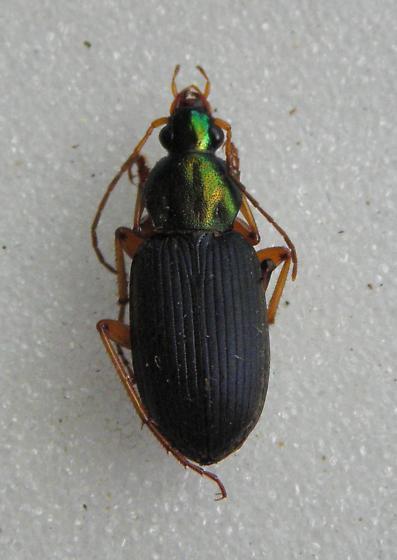 Chlaenius tricolor  - Chlaenius tricolor - male