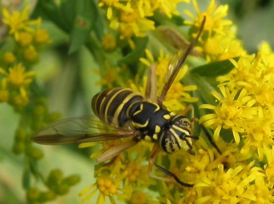 Unidentified Insect 88 - Spilomyia longicornis