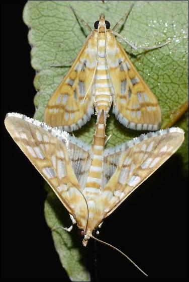 Crambid Moths - Epipagis fenestralis - male - female