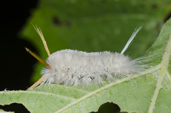 Sycamore Tussock Moth Caterpillar - Halysidota harrisii