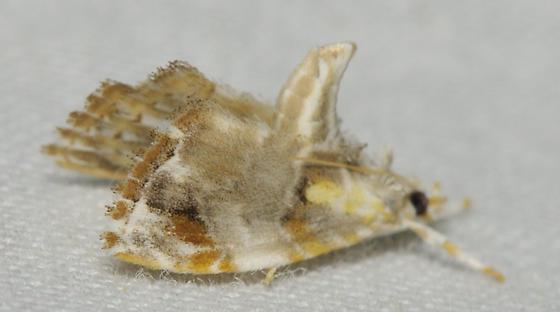 White moth with four eyes - Glaphyria basiflavalis