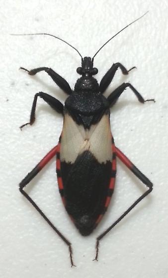 Microtomus purcis