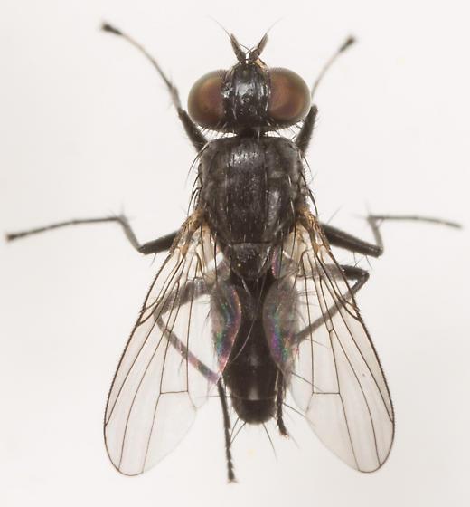 Fly - Lispe albitarsis
