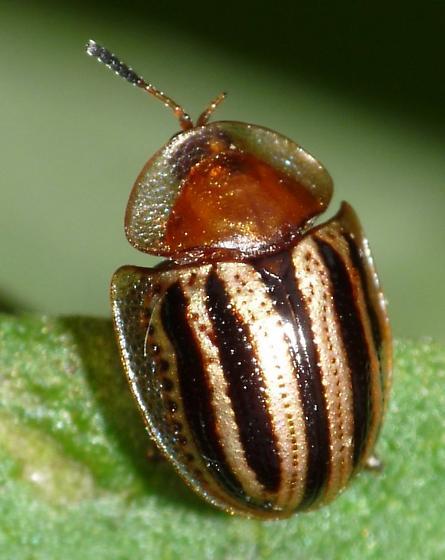 Tortoise Beetle - Agroiconota bivittata