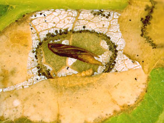 Gracillariidae on Oak, pupa - Phyllonorycter basistrigella