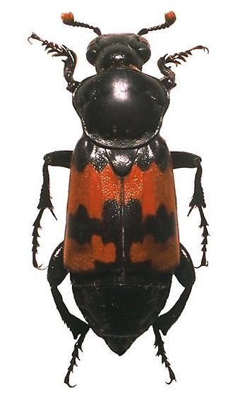 Carrion Beetle - Nicrophorus marginatus - male