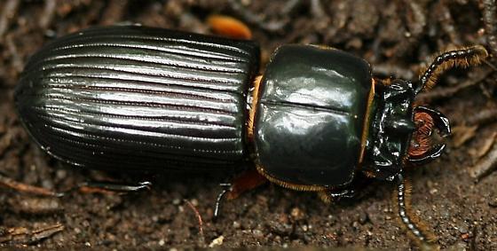 Beetle - Odontotaenius disjunctus