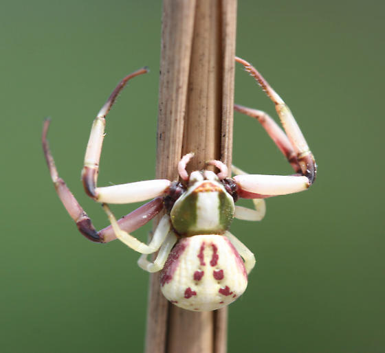 White-Banded Crab Spider - Misumenoides formosipes