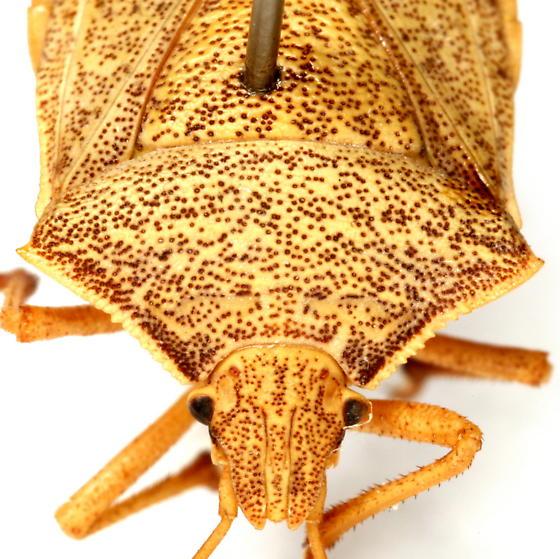 Euschistus latimarginatus Zimmer - Euschistus latimarginatus - male