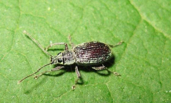 what species? - Cyrtepistomus castaneus
