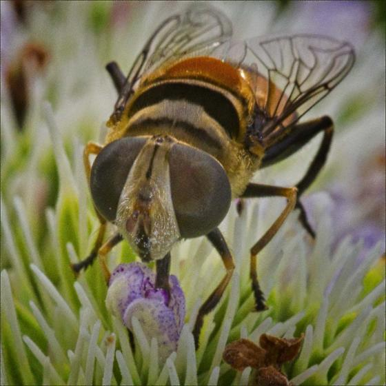 Family Syrphidae- Syrphid Flies ID please - Palpada agrorum