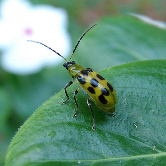 Spotted Cucmber Beetle - Diabrotica undecimpunctata
