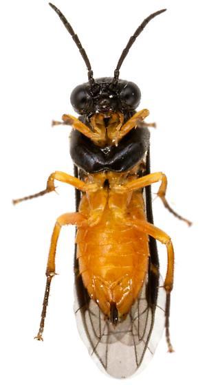 Tenthredinidae? - Halidamia affinis