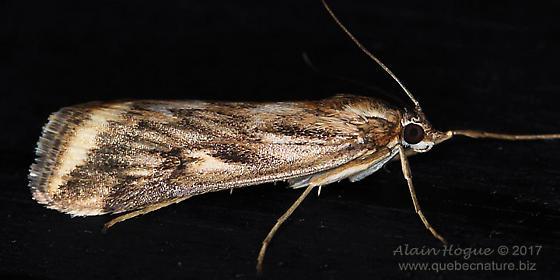 Moth - Loxostege cereralis
