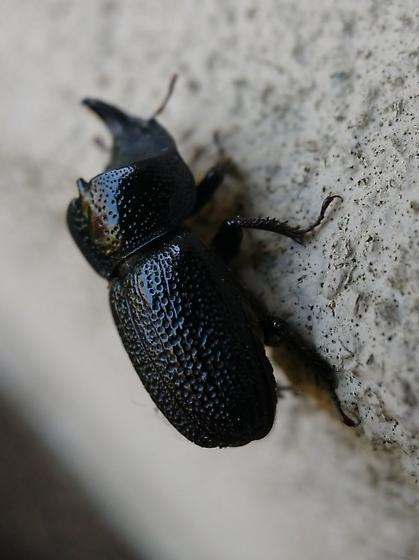Washington Rhinoceros Beetle - Sinodendron rugosum