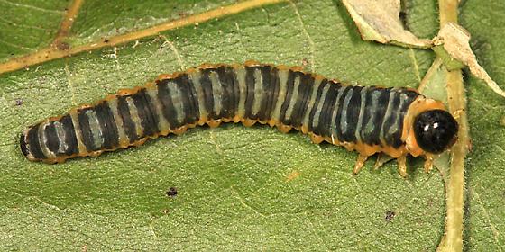 Dogwood Sawfly - Macremphytus tarsatus