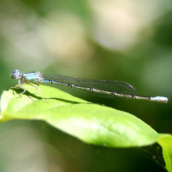 Damselfly - Pale Bluet - Left lateral - Enallagma pallidum - female