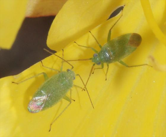 Phytocoris vanduzeei? - Labopidea