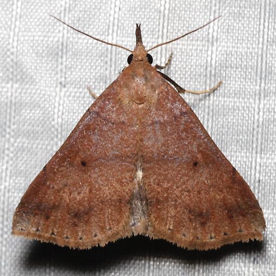 Renia nemoralis - female