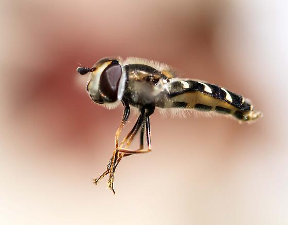 Hoverfly (Allograpta obliqua) or exotica? - Scaeva pyrastri