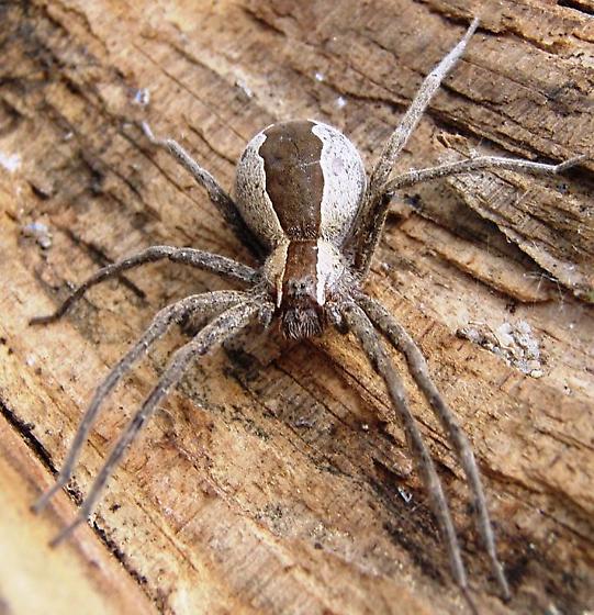 Spider found in Woodpile - Pisaurina mira