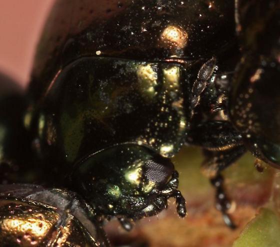 Leaf Beetle - Chrysolina