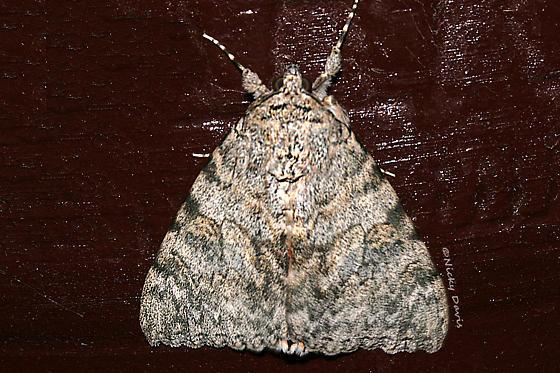 Gray moth on plant pot - Catocala